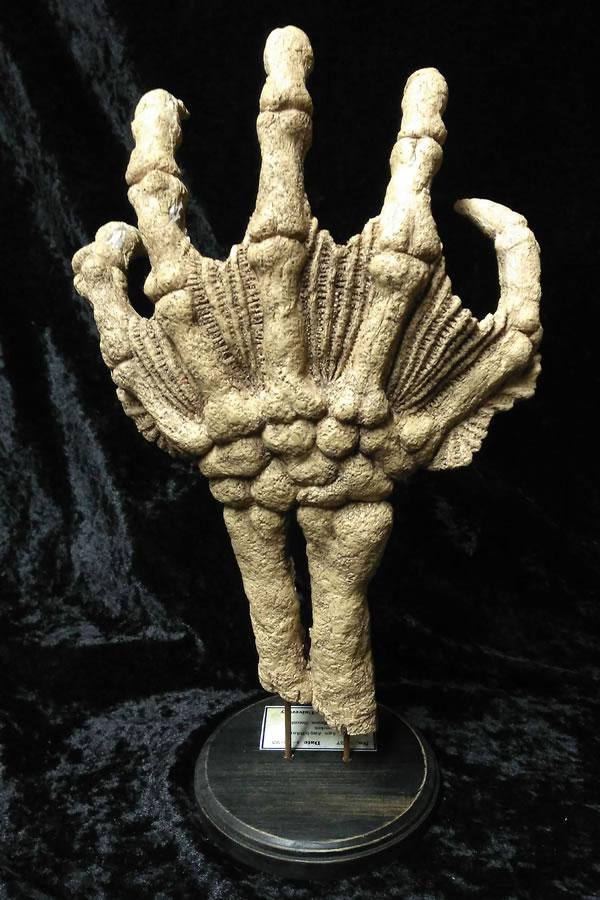 Fossile Hand eines Tiefen Wesens  - Ansicht 3