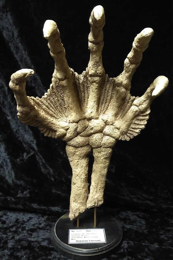 Fossile Hand eines Tiefen Wesens  - Ansicht 4